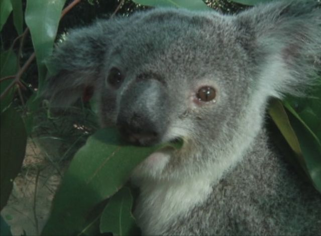 VOA News: Koala AIDS Could Cause Extinction for At-Risk Australian Icon